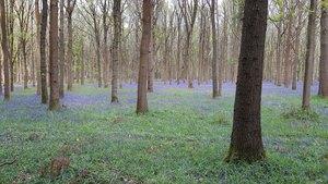 Bluebell Wood - R.Bartlam
